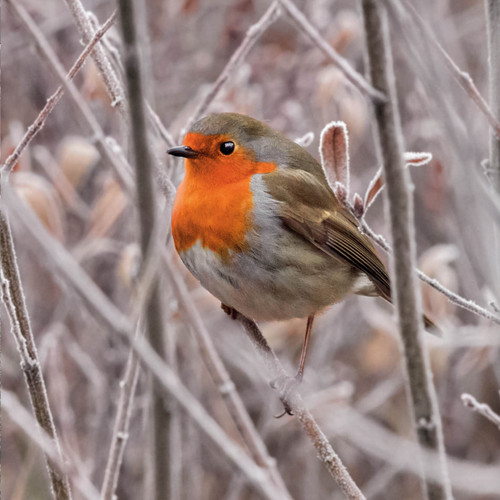 TWT91128 - Robin (1 pack of 8 charity Christmas cards)-