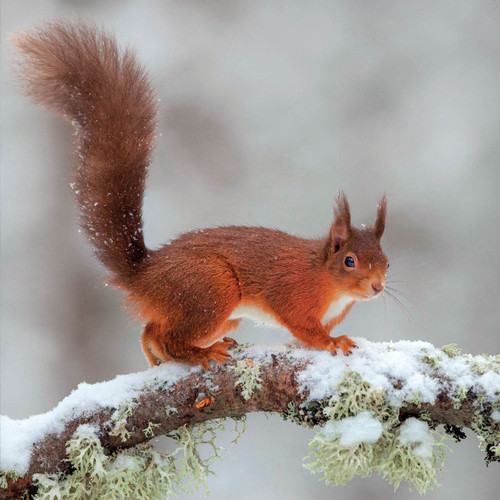 TWT91129 - Red Squirrel (1 pack of 8 charity Christmas cards)-