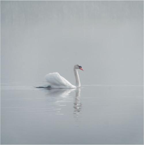 SM14206 - Swan Lake (1 blank card)