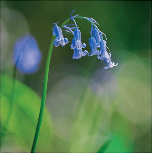 SM14210 - Bluebell Stem (1 blank card)