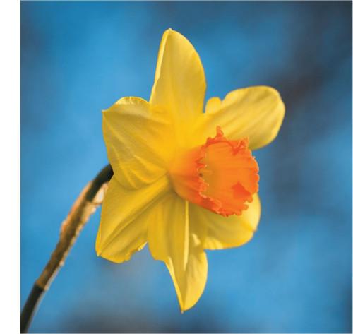 SM14214 - Daffodil (1 blank card)
