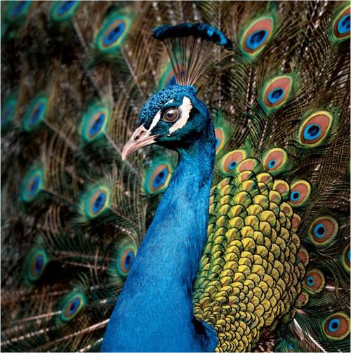 SM14215 - Peacock (1 blank card)
