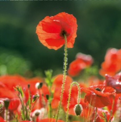 NE11083A - Poppies (1 pack of 5 notelets)~