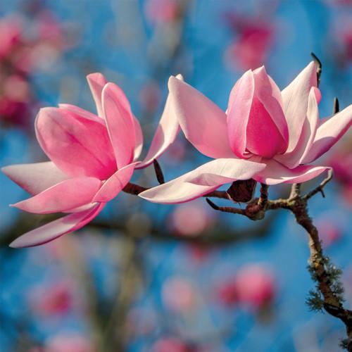 NE11097A - Magnolia under a Blue Sky (1 pack of 5 notelets)~