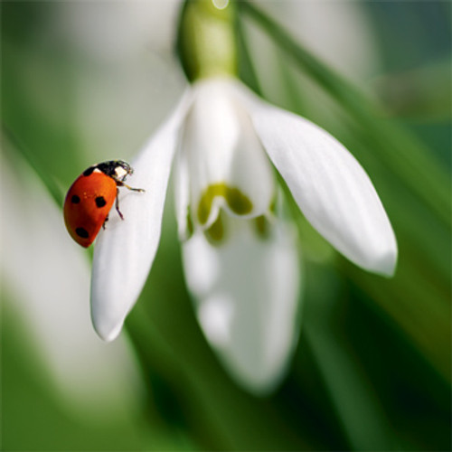 NE11097B - Snowdrop and Ladybird (1 pack of 5 notelets)~