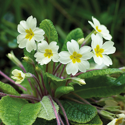 NE11097D - Primroses (1 pack of 5 notelets)~