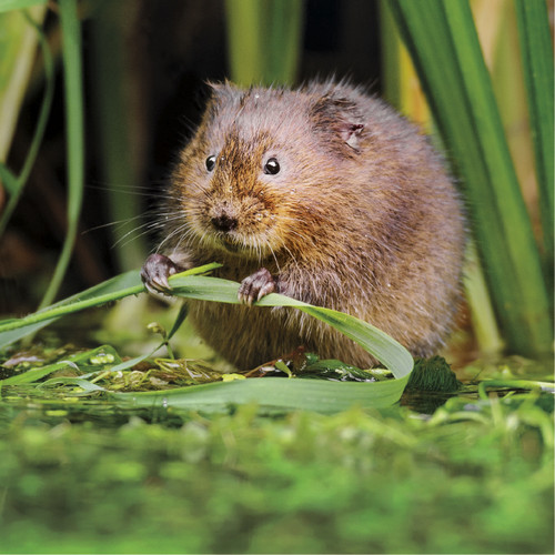 NE91095C - TWT Watervole (1 pack of 5 notelets)~