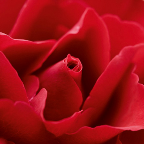 SM10043 - Red Rose (1 blank card)~