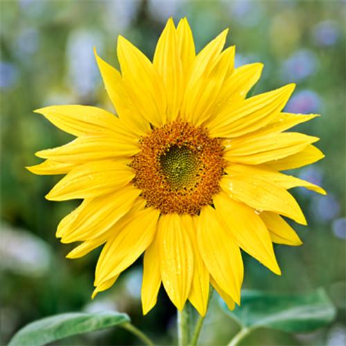 E10566 - Sunflowers (1 blank card)~