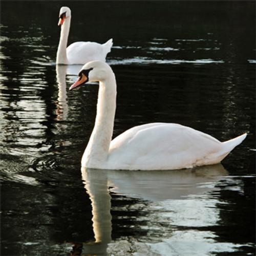 E10561 - Swans (1 blank card)~