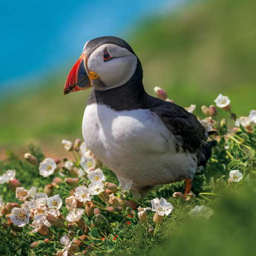 EF12084 - Puffin (1 blank card)