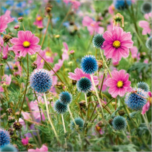 NE11096A - Cosmos and Echinops (1 pack of 5 notelets)~