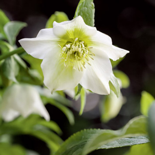 NE11096B - Hellebore (1 pack of 5 notelets)~