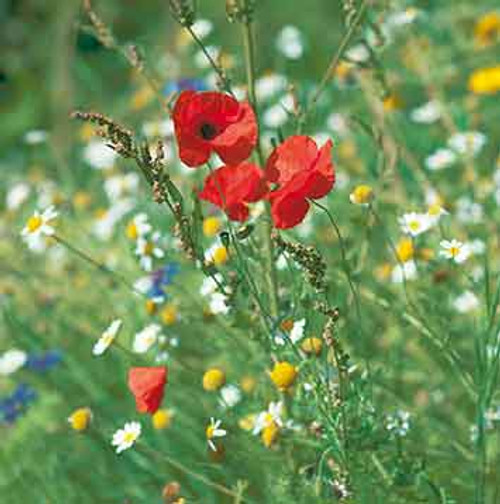 NE11096C - Wild Poppies (1 pack of 5 notelets)~