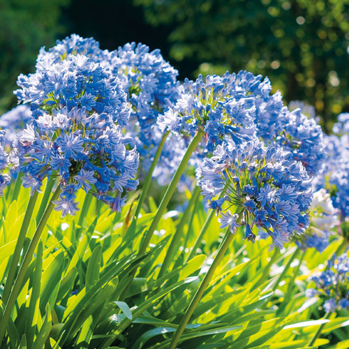 NE11096D - Agapanthus (1 pack of 5 notelets)~