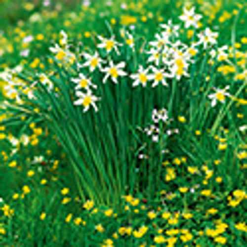 SM10028E - Daffodils and Celandines (Easter notelet packs of 5 cards)~