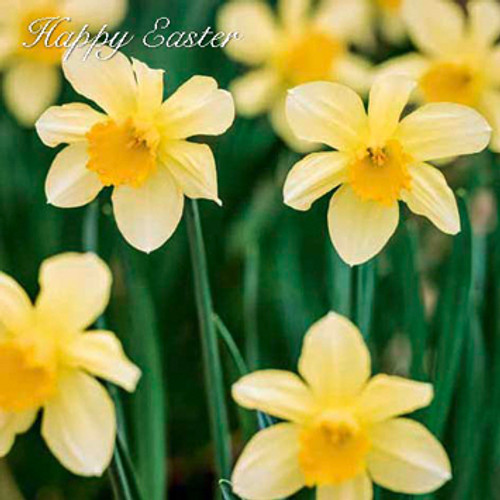SM10068E - Daffodils (Easter notelet packs of 5 cards)~