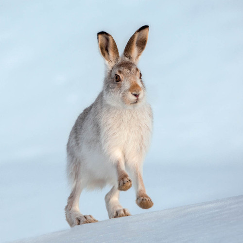 TWT91105 - Mountain Hare (1 pack of 8 charity Christmas cards)