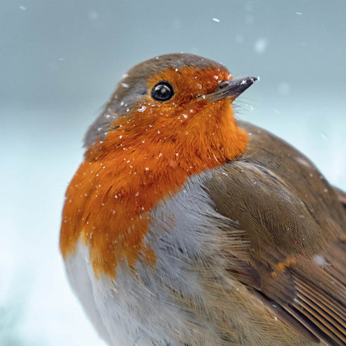 TWT91107 - Robin (1 pack of 8 charity Christmas cards)