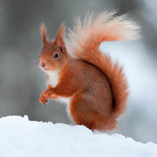 TWT91109 - Red Squirrel (1 pack of 8 charity Christmas cards)