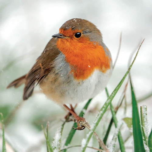 SS00488 - Robin in Falling Snow (1 pack of 8 charity Christmas cards)