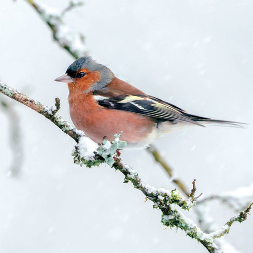SS00489 - Chaffinch in Snow (1 pack of 8 charity Christmas cards)