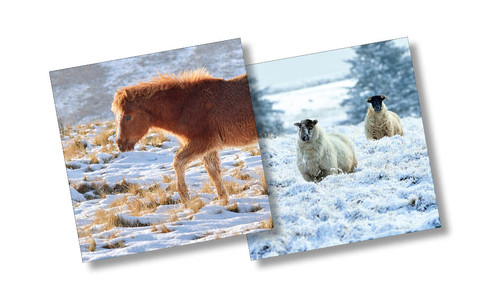 CX14069 - Pony & Sheep (1 pack of 10 Christmas cards)