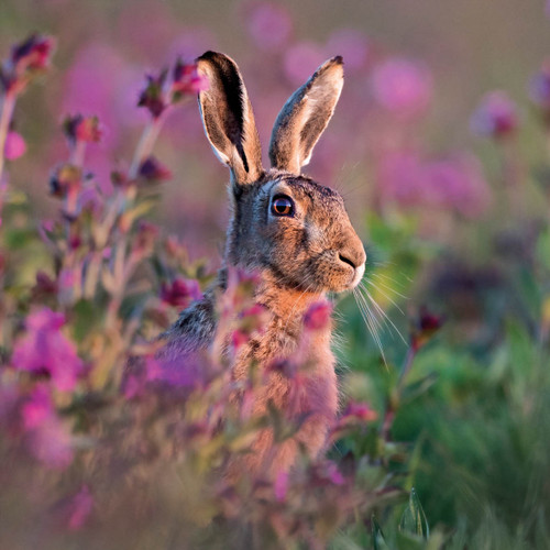 WT91413 - Brown Hare amongst Heather (1 blank card)