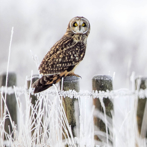 WT91411 - Short-eared Owl (1 blank card)