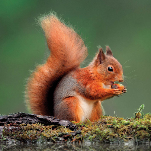 WT91412 - Red Squirrel (1 blank card)