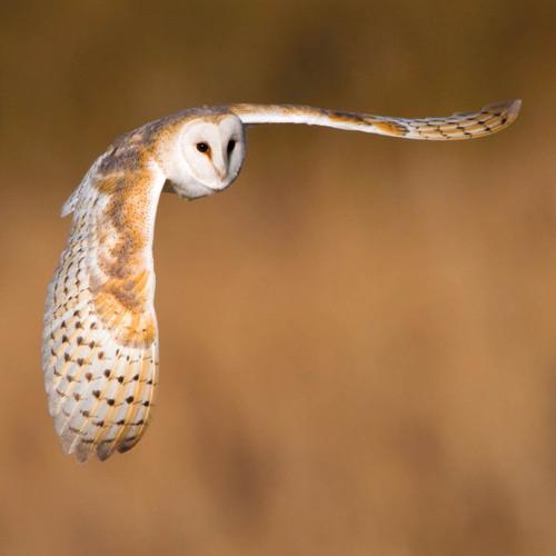 WT91415 - Barn Owl (1 blank card)