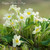 E10513MD - Primroses (1 mother's day card)~