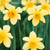 E10540MD - Daffodils (1 mother's day card)~