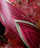 "Variegated Pink  & Green 4"" Aspidistra Ti Leaf Floral Ribbon"