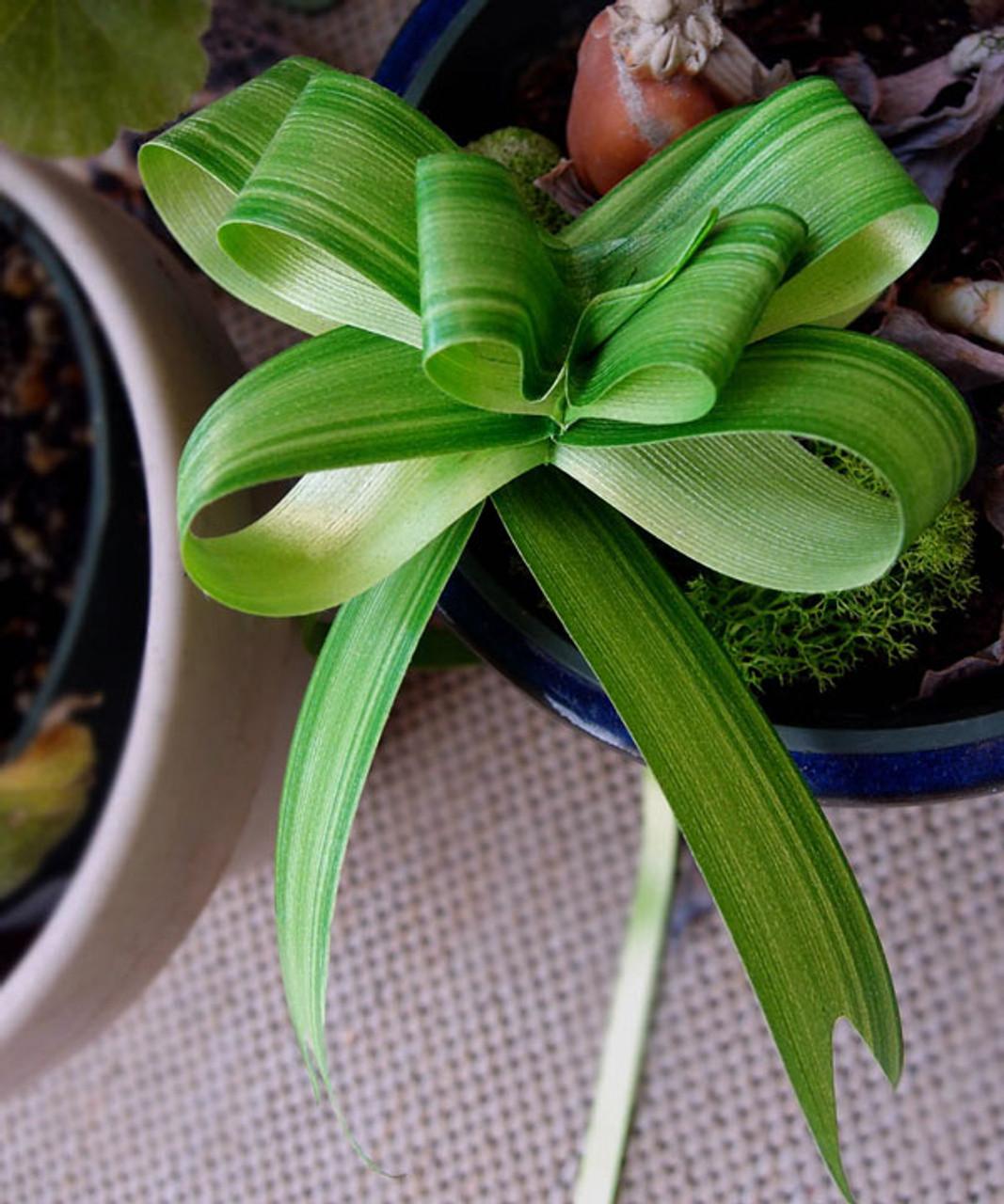 Ti Leaf Pull Bow