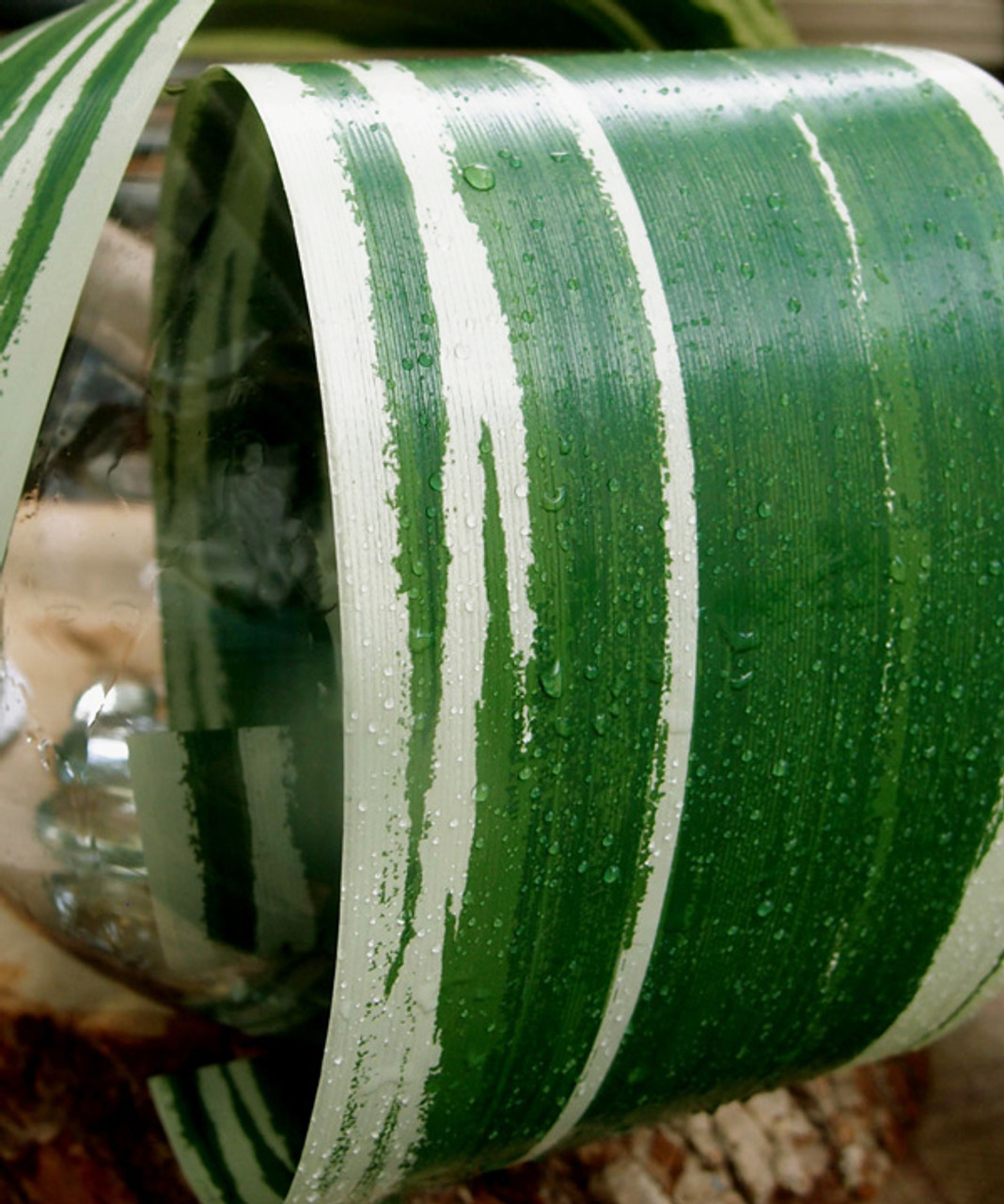 """Variegated Green & Light Green 4.25"""" Aspidistra Ti Leaf Ribbon"""