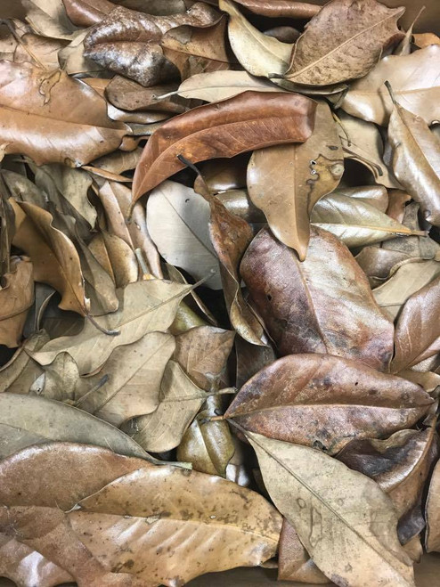 All Things Reptile Leaf Litter Magnolia See notes Approx 16 Leaves