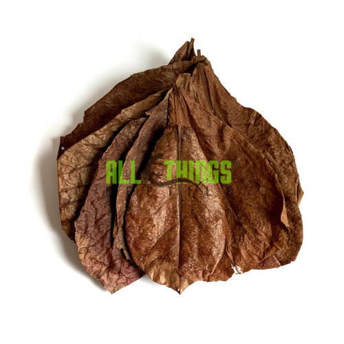 All Things Reptile Catappa Indian Almond Big Leaves 10-pack