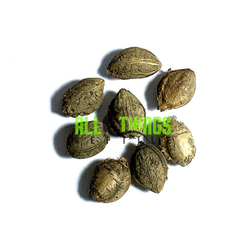 All Things Reptile Catappa Indian Almond Nut 8-pack