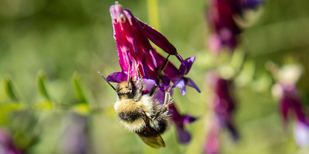 A bee grazes in Bonterra's organic vineyards