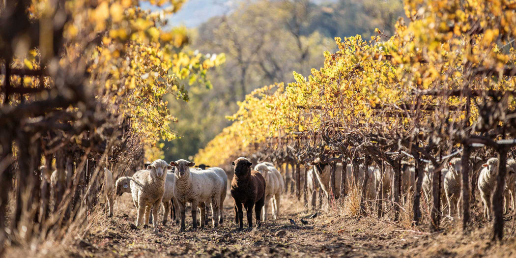 Sheep graze in Bonterra's organic vineyards