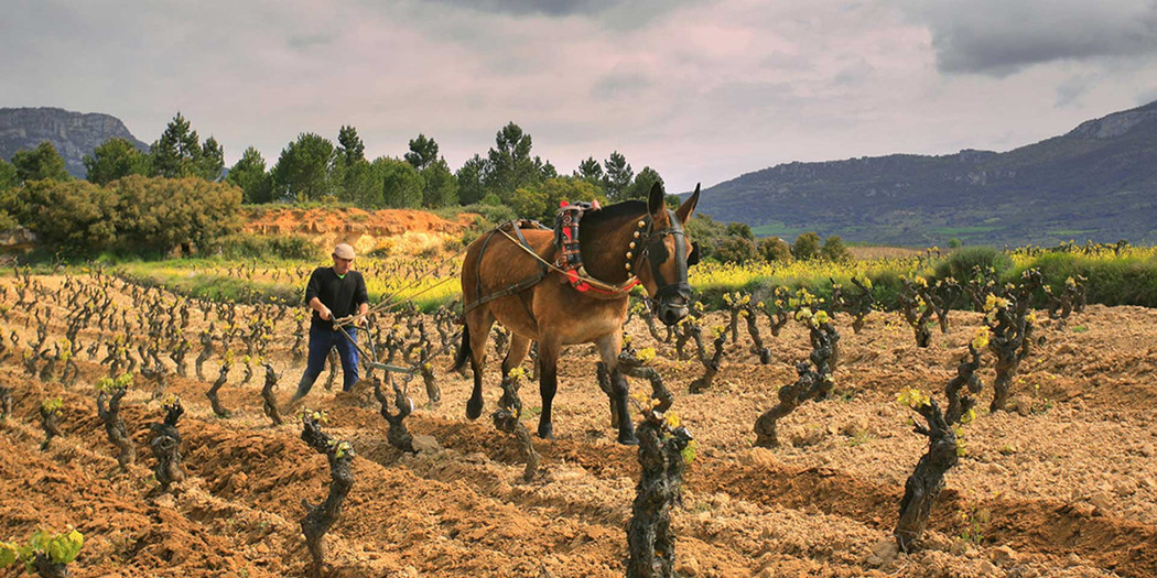 A horse works Sierra Cantabria's vineyards