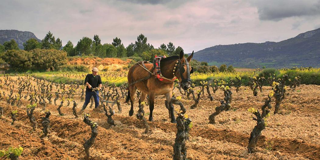 A horse works Sierra Cantabria's vineyards
