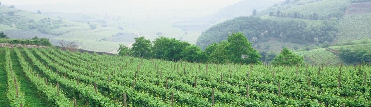 Tuscan Whites