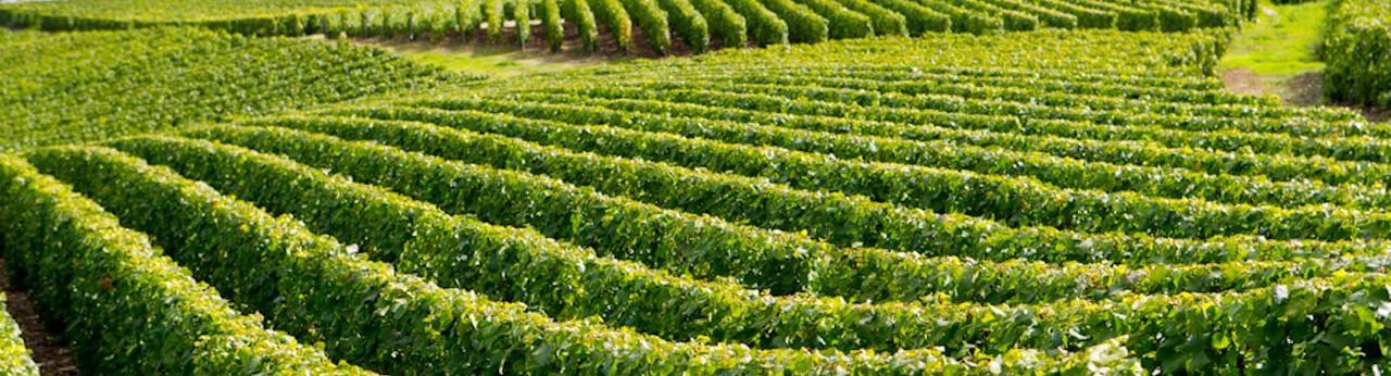 Ferrari Sparkling Wines