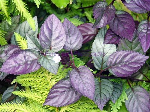 Purple Coleus