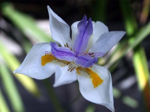 Dainty Iris