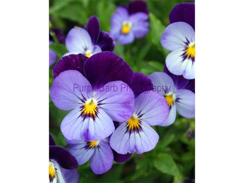 Purple Pansy Garden