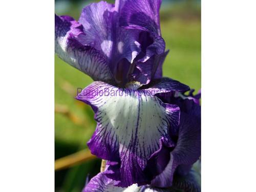 Iris Petals