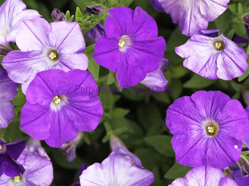 Purply Petunias